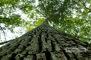 Lilly Cornett Woods